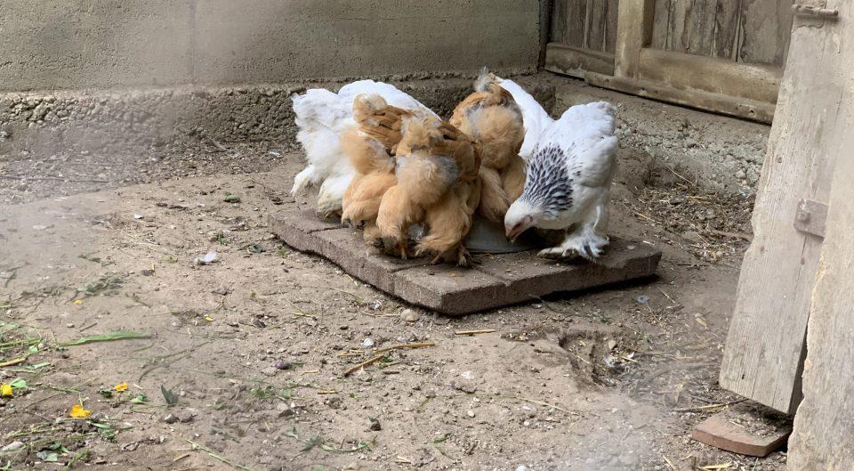 Hühner mai